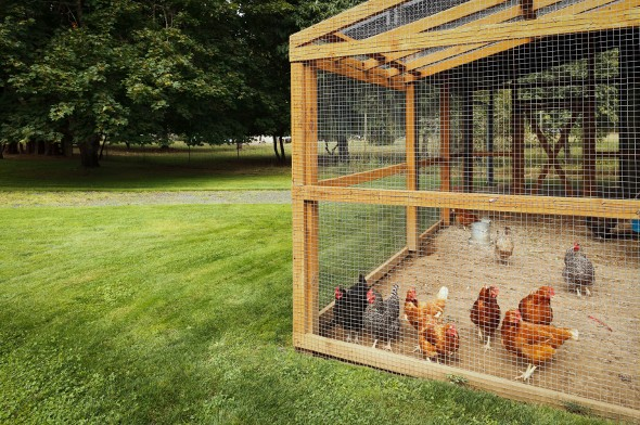 The Economics of Raising Chickens
