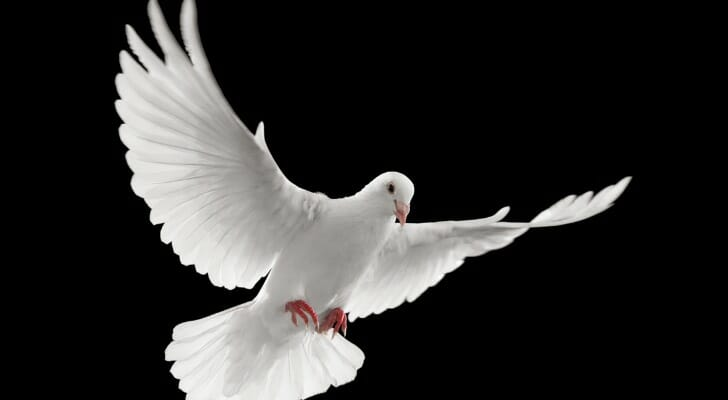 A white dove flying