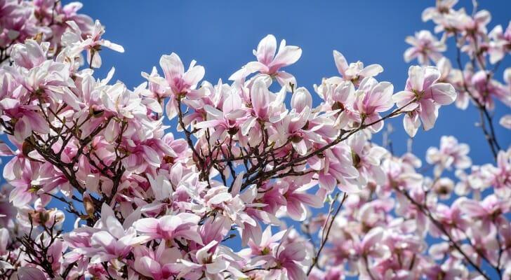 Magnolia flowers in full bloom